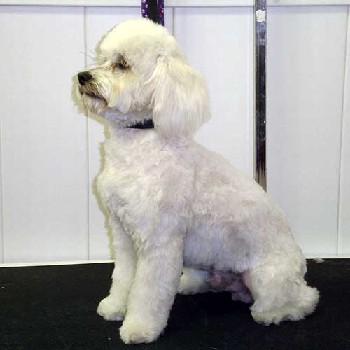 white_poodle
