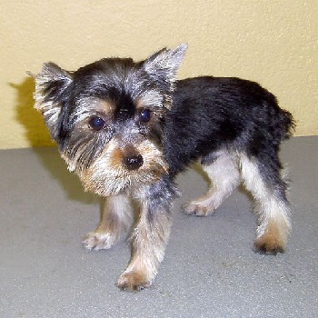 yorkie_completed